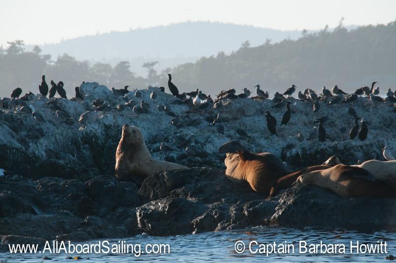 Steller Sea Lions of Whale rocks