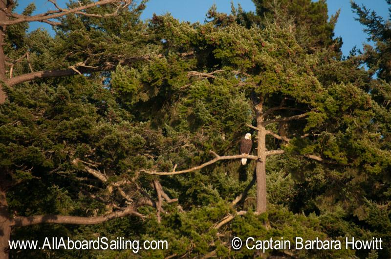 Bald Eagle in Sunset Light