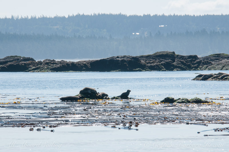 Harbor Seals in the pass of Turn Island, near Friday Harbor