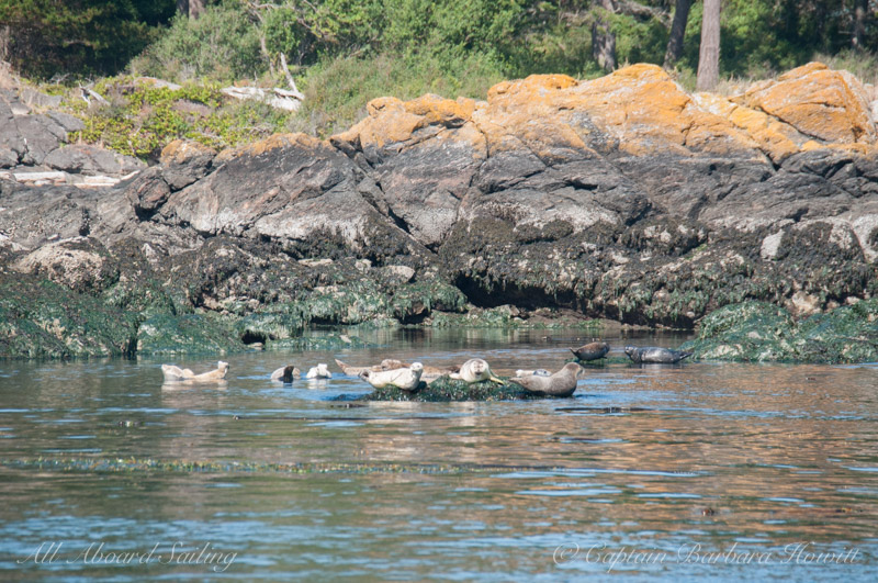 Harbor Seals Pear Point, San Juan Island