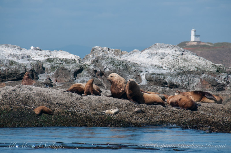 Stellar Sea Lions and Harbor Seals, Whale Rocks with Cattle Point Lighthouse