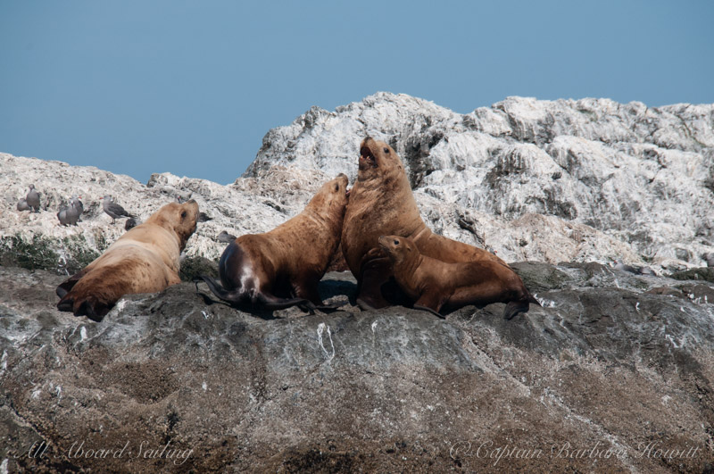 Steller Sea Lions of Whale Rocks