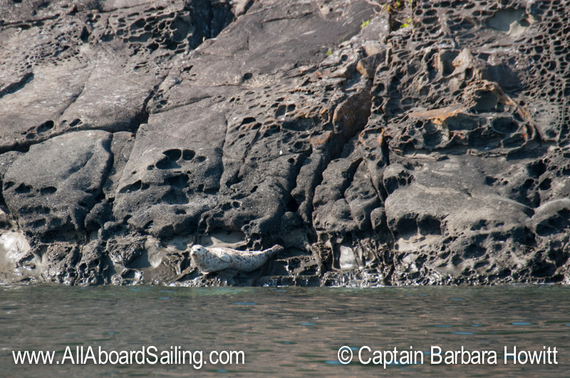 Harbor Seal hauled out on Flattop Island