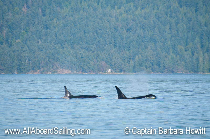 Brothers T46D and T46E Male Biggs Orcas Point Disney Waldron IslandBrothers T46D and T46E Male Biggs Orcas Point Disney Waldron Island