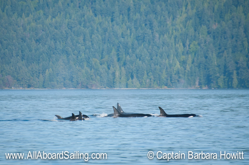 Transient Biggs Orca families T37, T36As and T46s