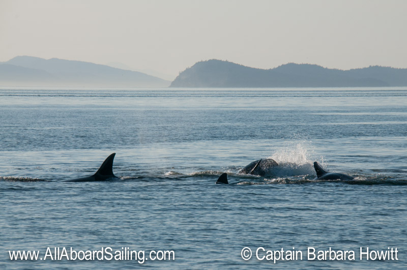 Transient, Biggs, Orca hunting Seals at White Rock, San Juan Islands