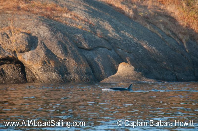 Transient Orca passing shoreline of Flattop Island