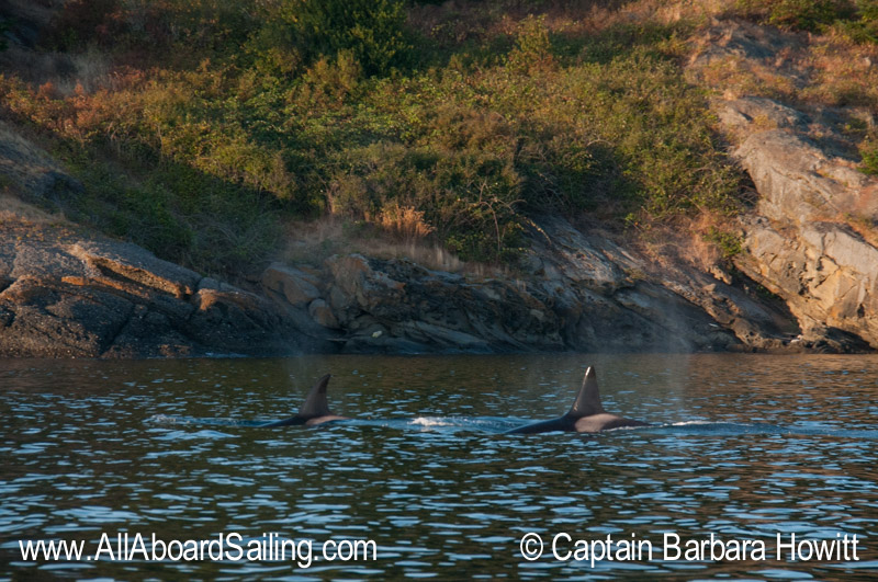 T122 and T37 female Transient Orcas Flattop Island