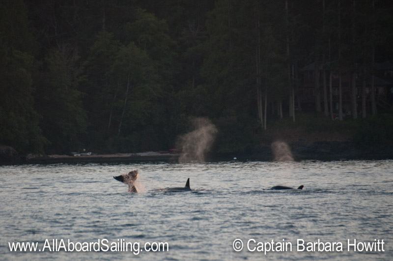 Transient Orcas the T34s and 37Bs O'Neil Island San Juan Island heading South