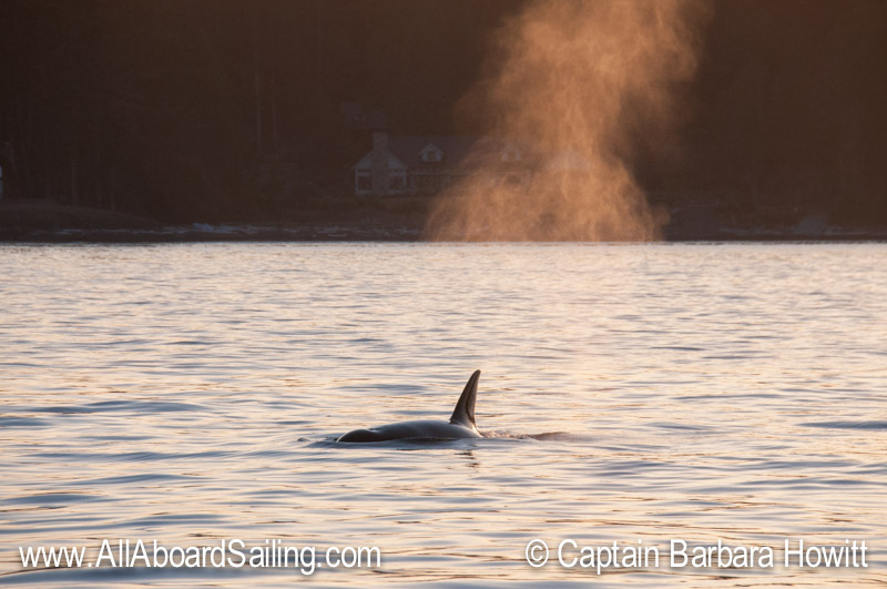 T34 Transient Orcas with backlit blow  against the San Juan Island shoreline