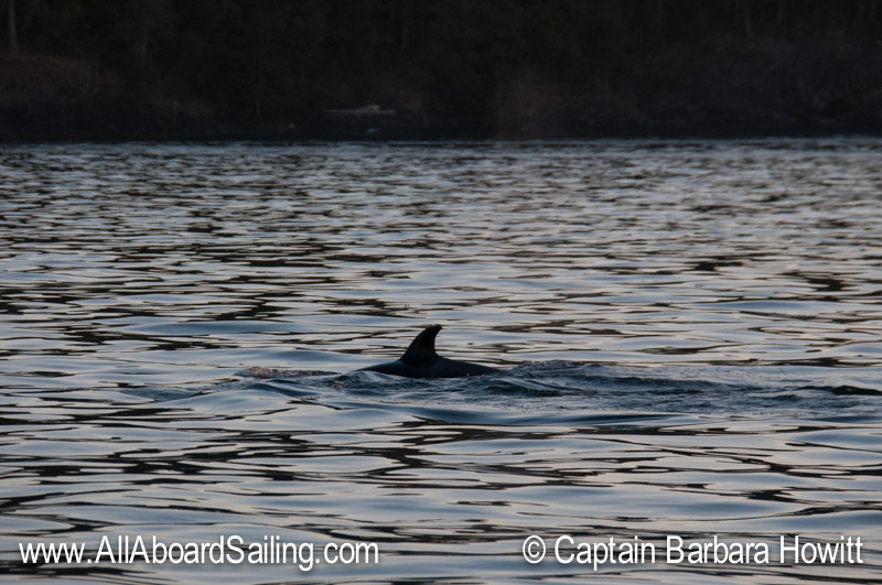 Either T34b or T37B2 - one of the newest calves, head South on san Juan Island shoreline at twilight