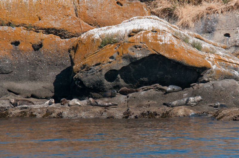 Harbor Seals Hauled out San Juan Islands