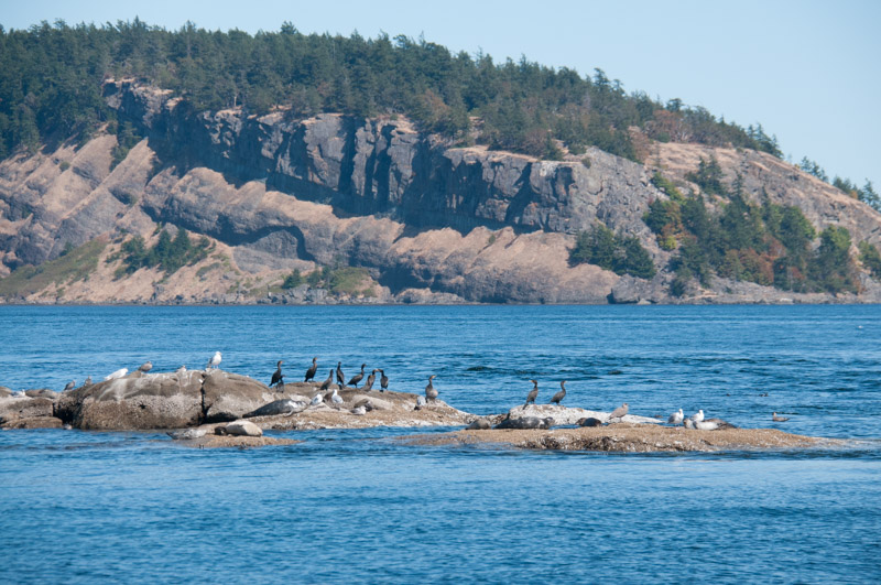 White Rock and Point Disney , Cormorants and Harbor seals