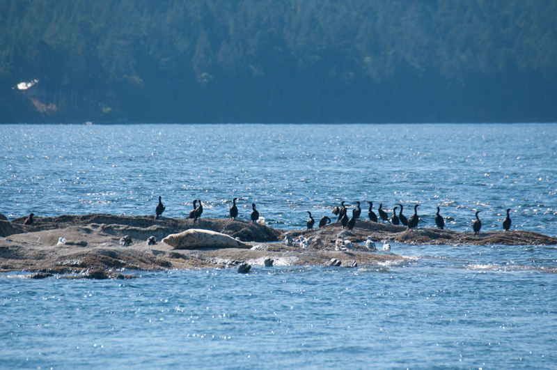 Harbor Seals lucky escape after close pass form T65A Transient (Biggs) Orcas