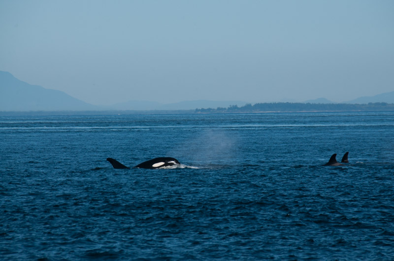 Transient Orca T65A2 backward swimming while eating
