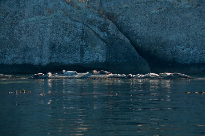 Harbor Seal Haul Out San Juan Islands Skipjack National Wildlife Refuge