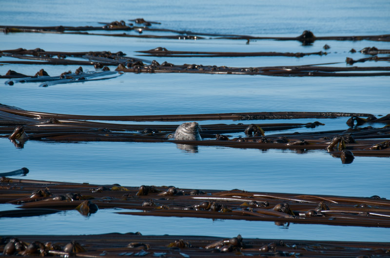 Harbor Seal resting in Kelp forest