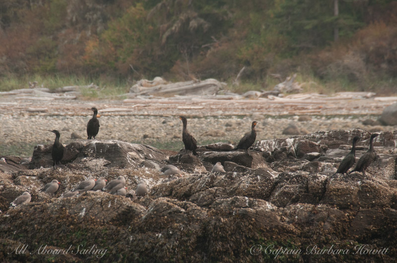 Brandts, Double Crested and Pelagic  Cormorants