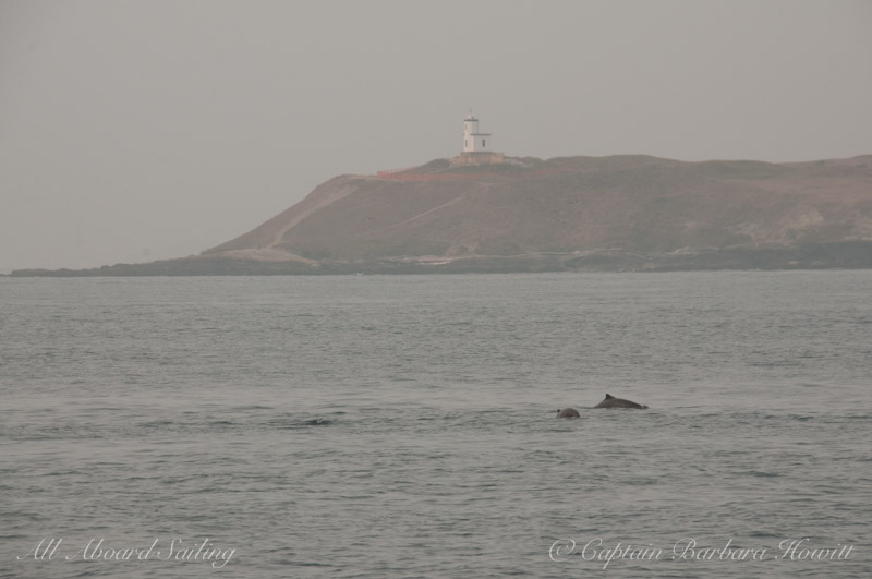 Harbor Porpoise at Cattle Point Lighthouse