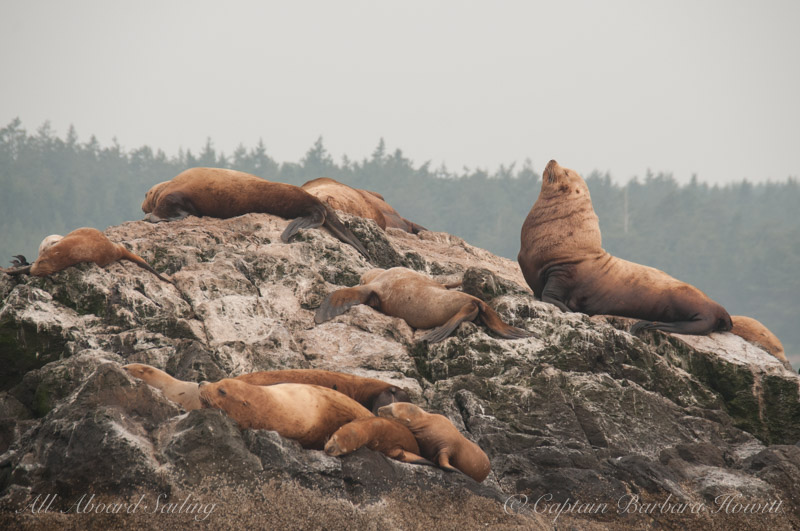 Steller Sea Lions, Male and female