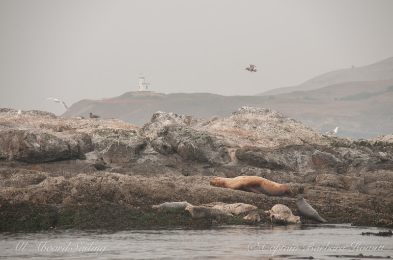 Steller Sea Lion, Harbor Seals, Cattle Point Lighthouse