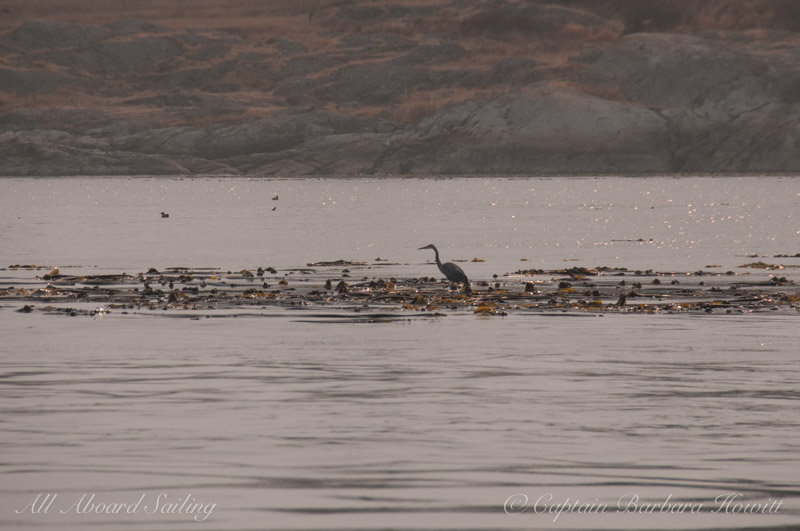 Great Blue Heron standing on kelp