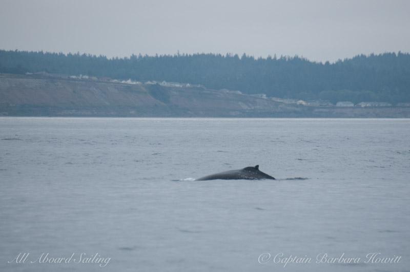 Humpback whale near Whidbey Island