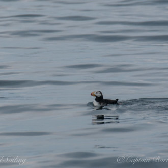Smith Island Humpback, horned and tufted puffins