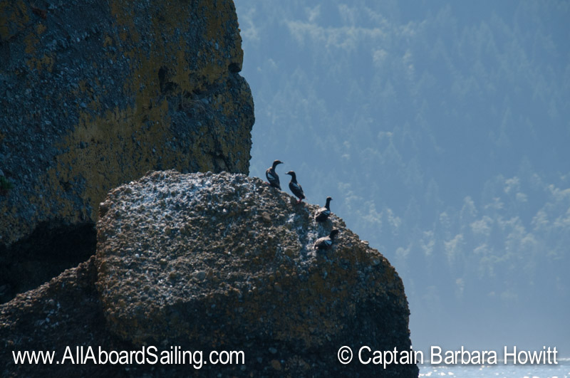 Pigeon Guillemots on Little Sister rock