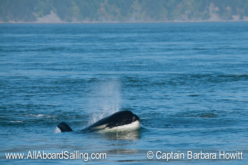 Whale watching sailing with Transient Orca watching us