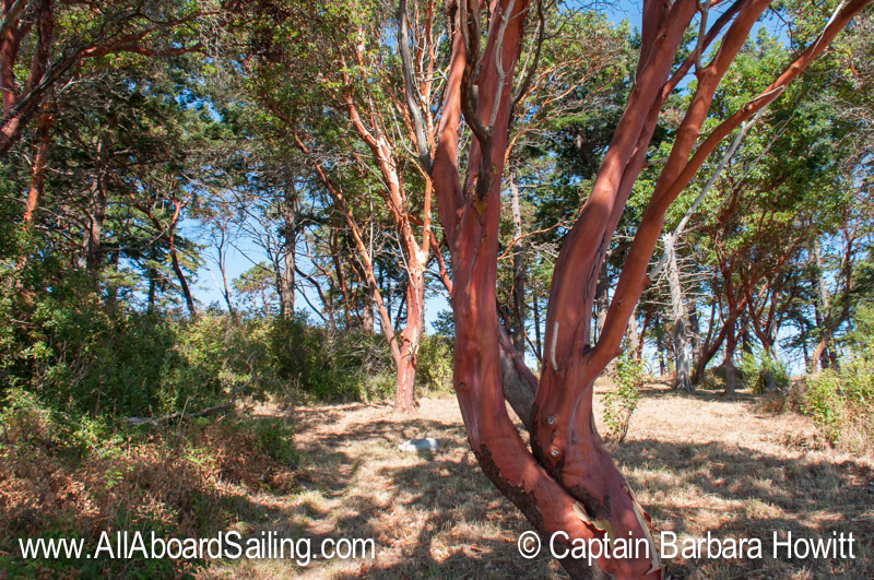 Madrone on Yellow Island