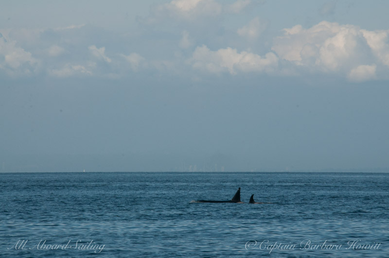 Transient Orcas T46 with T46F