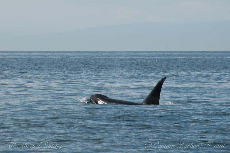 Male transient orca T46E