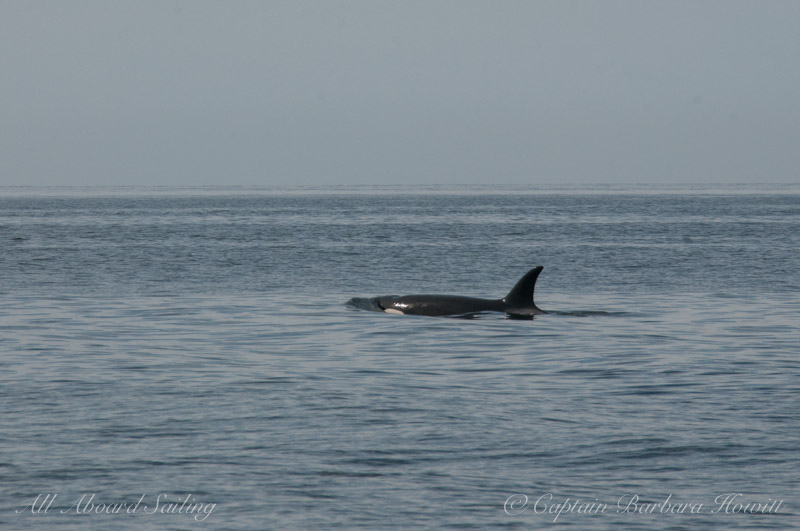 Transient Orca T122 female travels with T46s