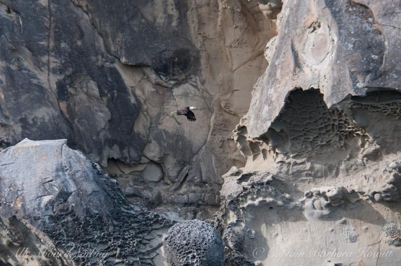 Bald Eagle, Saturna Island