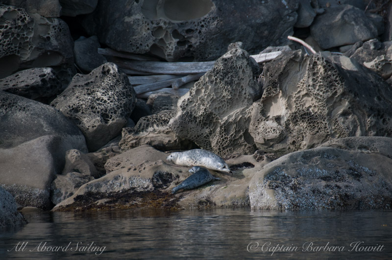 Harbor Seal hauled out on honeycombed sandstone of Saturna Island