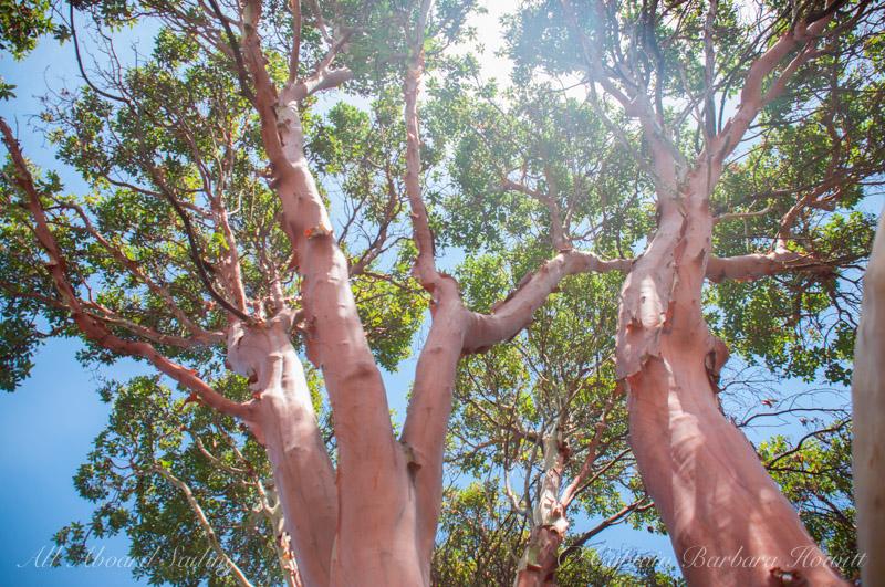 Pacific Madrone - Arbutus menziesii