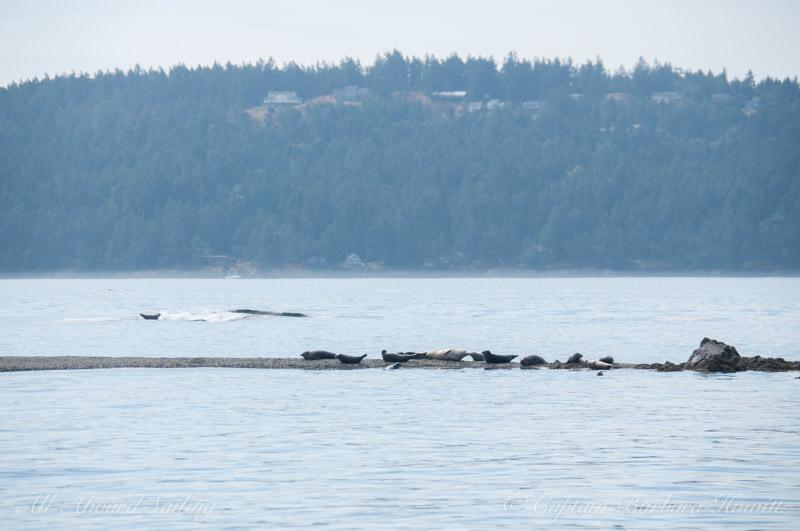 Harbor seals of Yellow Island
