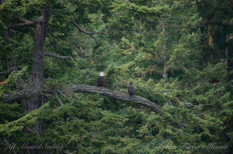 Bald eagle with eaglet chick