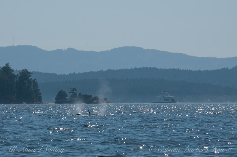 Transient Orcas with BC ferry