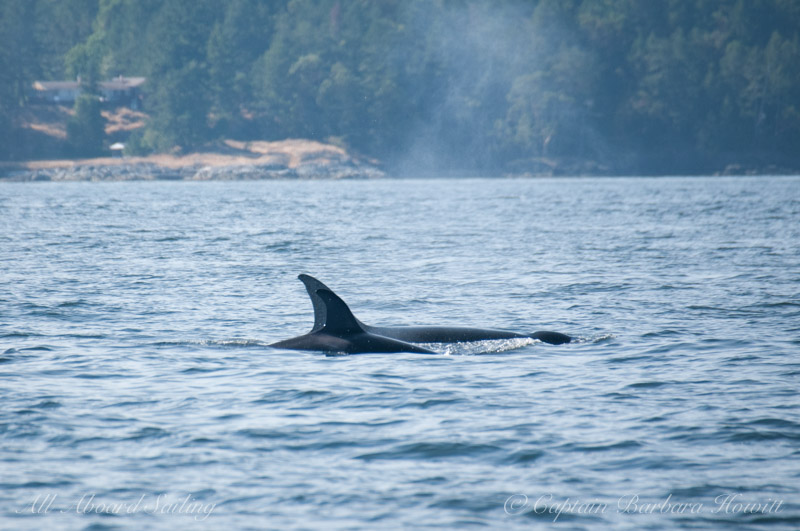 Transient Orcas T65a with T65A5