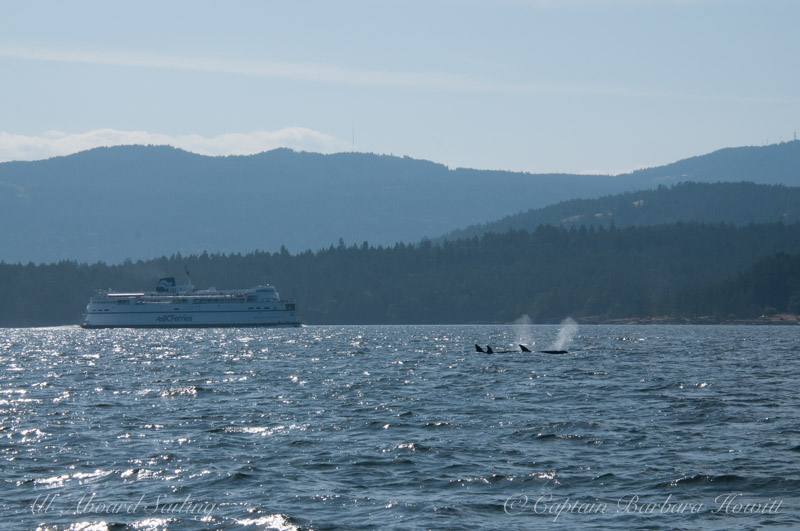 Transient Orcas family the T99s with BC Ferry