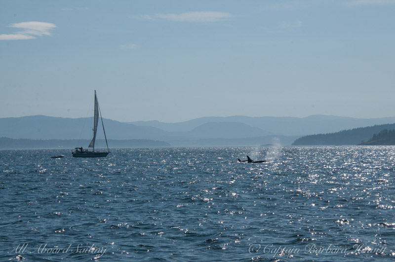 Transient Orcas and sailboat