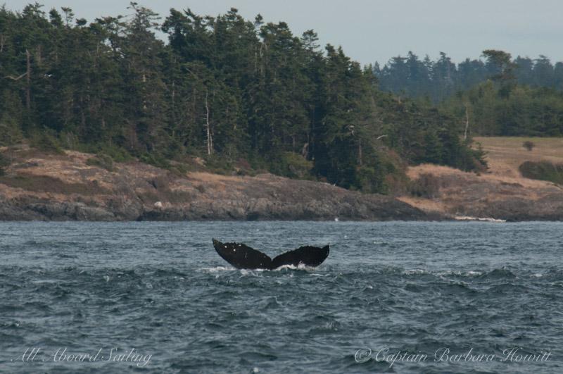 Humpback Whale 'Zig Zag' BCX1193