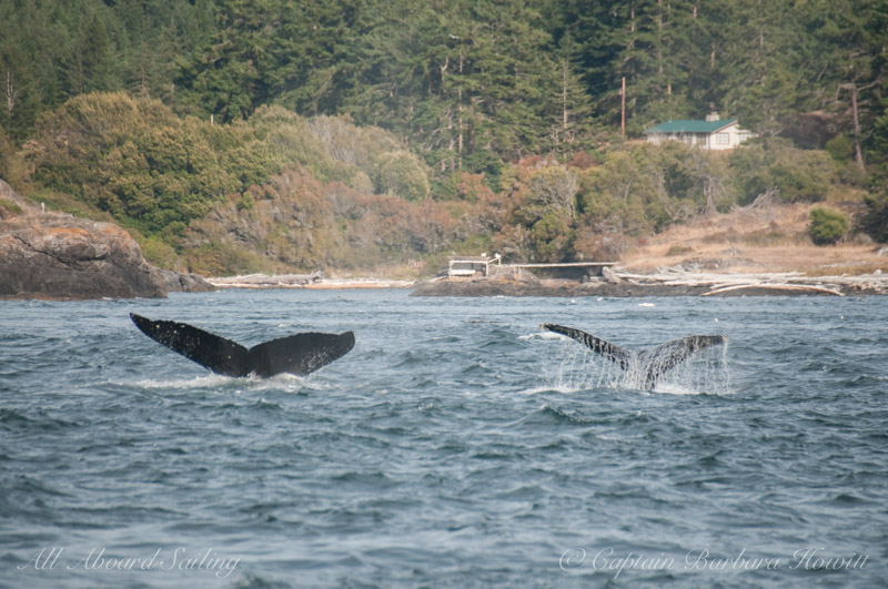 Humpback Whale 'Zig Zag' BCX1193 on left and 'Frankenstein' MMY0001 aka MMY0009 on right