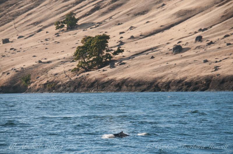 Harbor Porpoise in Spieden Channel