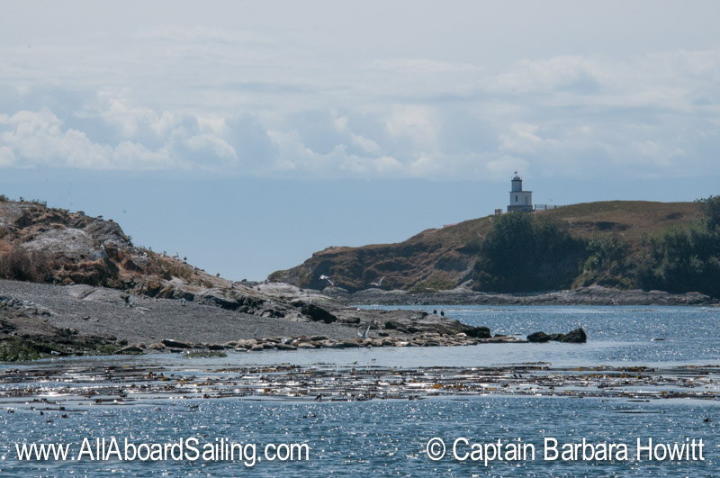 Harbor seal haul out Goose island with Cattle Point Lighthouse