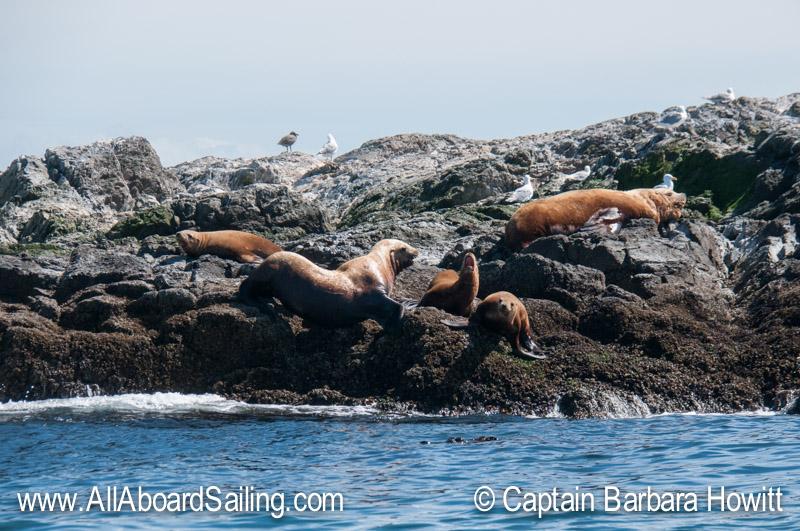 Steller sea Lions Whale Rocks