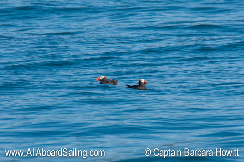 Tufted Puffins