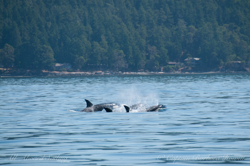 Whale watching sailing with Transient Orcas
